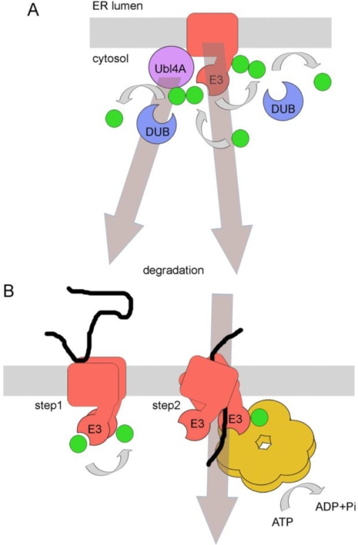 Models for ubiquitination and deubiquitination of ERAD machinery components as a mechanism to regulate ERAD. (A) Regulation through degradation. In the mammalian system, ubiquitination of the ERAD component Ubl4A by the E3 ligase gp78 leads to the degradation of the associated shuttling chaperone Bag6, thereby reducing efficient substrate targeting to the proteasome. Ubl4A ubiquitination is reversed by the DUB Usp13. A similar mechanism involves the self-ubiquitination of Hrd1p in yeast in absence of Hrd3p and Usa1p, leading to effective degradation of the E3 ligase. No DUB is currently known in this system. See text for details. (B) Regulation through conformational changes. Binding of a substrate to Hrd1p in the ER lumen induces oligomerization and self-ubiquitination of the E3 ligase (step 1). Subsequently, ATP hydrolysis by bound Cdc48p would result in conformational changes in the ATPase, which will consequently result in conformational changes in Hrd1p oligomers. This, in turn, would push the substrate through a postulated channel formed by Hrd1p oligomers (together with associated components like Der1p) until it is partially exposed to the cytosol (step 2). See text for details.