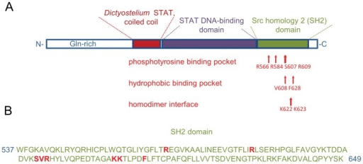 A. castellanii STAT protein domains.(A) The overview of the protein domains. The residues that form phosphotyrosine binding pocket, hydrophobic binding pocket and homodimer binding interface are indicated with arrows. (B) The SH2 domain sequence. The residues that form the phosphotyrosine binding pocket, hydrophobic binding pocket and homodimer binding interface are in red color.