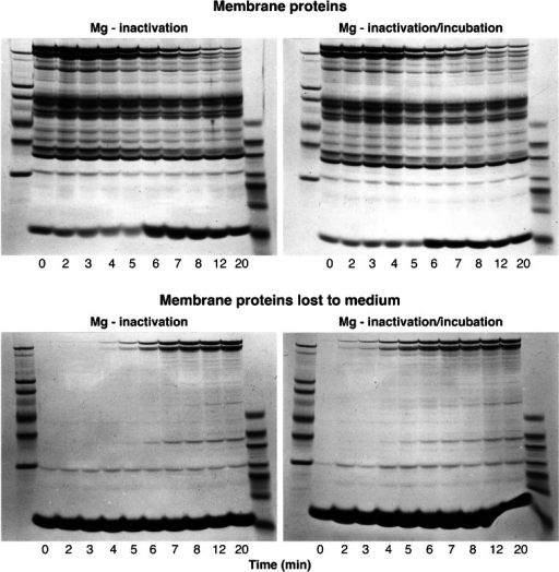 "Effect of magnesium ions on the time-dependent patterns of membrane protein changes during spontaneous vesiculation. The experimental protocol was similar to that described in Fig 4. Samples for membrane and supernatant proteins shown on the left panels were taken before (t = 0) and after switching the temperature of the ghost suspension from 0 to 37 °C, at the times indicated under each column (in min). Left panels show the patterns obtained from Mg-inactivated samples immediately processed for SDS–gel electrophoresis, as reported in ""Methods"" (Mg inactivation). Right panels show the patterns recovered from duplicate Mg-inactivated samples from each of the originally timed samples after 1 h of incubation at 37 °C before processing for SDS–gel electrophoresis (Mg inactivation/incubation). Extreme left and right columns in each of the four panels are molecular weight standards. Top panels show membrane proteins; corresponding bottom panels show bands of proteins lost to the supernatant. Notwithstanding imperfect synchronization, it is clear that there is no large-scale spectrin loss (bands 1 and 2, see Fig 3) from membranes to supernatants during the first 4 to 5 min, the most dynamic stages of the spontaneous vesiculation process. Large-scale spectrin loss occurs concurrently with haemoglobin retention in the membrane protein gels (6-min sample) reflecting vesicular sealing. The similitude of the two membrane protein gels (top panels), particularly for the samples taken during the first 4 to 5 min of incubation, supports the view that vesiculation arrest by Mg2+ results from prevention of spectrin detachment, probably through spectrin cross-linking"