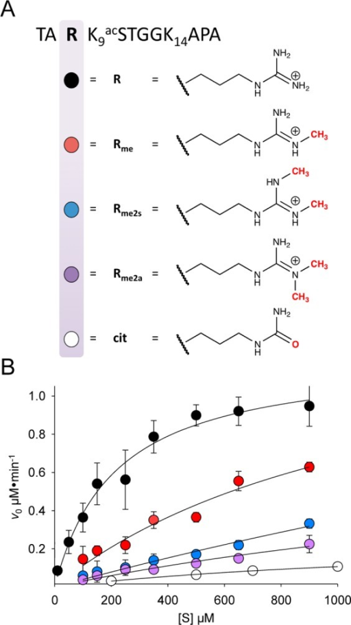 Arginine PTMs and kinetic data for PCAF on Arg8-modified H3 peptides.(A) Structures of the arginine side chain (R) with modifications includingmethyl (Rme), symmetric dimethyl (Rme2s), asymmetric dimethyl (Rme2a),and citrulline (cit) forms. (B) Kinetic plot of PCAF on modified H3substrates by a solution-phase kinetic assay. Substrate concentrationwas varied while holding PCAF and AcCoA concentrations constant. Eachspot represents an average of initial reaction velocities performedin triplicate.