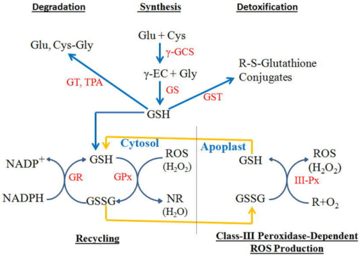 Metabolic pathways of glutathione synthesis, recycling, detoxification, and degradation; and a model for glutathione to serve as an oxidant for class III peroxidases during generation of ROS such as hydrogen peroxides.Glu, Cys, γ-EC, Gly, and Cys-Gly represent glutamate, cysteine, γ-glutamylcysteine, glycine, and cysteinylglycine, respectively. γ-GCS, GS, GT, TPA, GST, GR, GPx, and III-Px represent γ-glutamylcysteine synthetases, glutathione synthetases, γ-glutamyltransferases, tripeptide aminopeptidases, glutathione S-transferases, glutathione reductases, glutathione peroxidases, and class III peroxidases, respectively. Blue arrows indicate direction of metabolite flow, whereas yellow arrows indicate transport of GSSG and GSH between cytosol and apoplast, where GSSG serves as an oxidant for class III peroxidases during ROS generation.