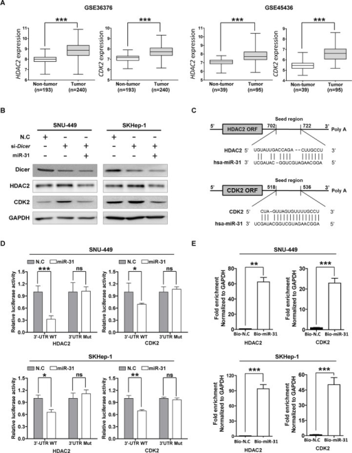 MiR-31 regulates HDAC2 and CDK2 expression by binding 3′-UTR in hepatocellular carcinoma(A) Differential expression of HDAC2 and CDK2 mRNAs from the mRNA microarray data obtained from NCBI, GEO database (Accession No: GSE36376 and GSE45436). The comparative expression values were showed as scatter plots. The median expression is indicated by horizontal line. The microRNA expression levels are shown on the y axis (log2 intensity, ***P<0.001, Student's t test). (B) Western blot analysis. SNU-449 and SKHep-1 cells were transfected with miR-31 mimics after transfected with Dicer siRNA or negative control siRNA (N.C). The protein levels of HDAC2, CDK2 and Dicer were detected with their specific antibodies. GAPDH was used as the endogenous loading control. (C) The target sites of miR-31 in 3′-UTR of HDAC2 and CDK2 are shown as a schematic representation. The target sequence was predicted by miRNA target prediction program, miRWalk (http://www.umm.uni-heidelberg.de/apps/zmf/mirwalk/). (D) Luciferase reporter assay. Wild type or mutant 3′-UTR construct of HDAC2 and CDK2 were cloned into a psi-CHECK2 vector, respectively, and co-transfected with miR-31 mimics in SNU-449 and SKHep-1 cells. Renilla luciferase activities were normalized to firefly luciferase activities. All assays were performed in triplicates and repeated at least three times. (means ± SD; *P<0.05; **P<0.005, ***P<0.001, Student's t test). (E) The Biotin-labeled miR-31-mRNA pull down assay. SNU-449 and SKHep-1 cells were transfected with Biotin-labeled microRNA control (Bio-N.C) or Biotin-labeled miR-31 mimics for 48 hours. The expressions of HDAC2 and CDK2 were measured by qRT-PCR and normalized to GAPDH (means ± SD; **P<0.005; ***P<0.001).