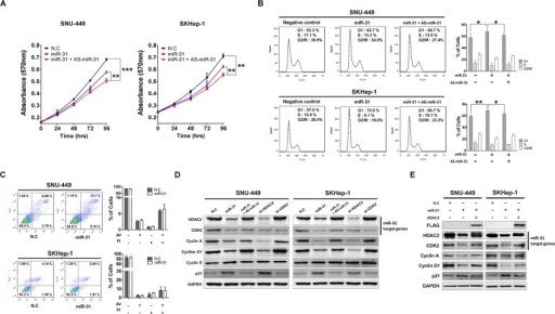 MiR-31 inhibits liver cancer cell growth by targeting G1/S transition regulatory molecules(A) Ectopic expression of miR-31 suppressed SNU-449 and SKHep-1 cell proliferation. Transfection of antisense miR-31 (AS-miR-31) attenuated anti-growth effect of miR-31. The cell viability was determined by measuring MTT absorbance at A570. Cell growth was measured at every 24 hours. N.C represents negative control microRNA (means ± SD; **P<0.005, ***P<0.001 compared to control, Student's t test). (B) After transfection of miR-31 mimics or co-transfection with AS-miR-31 to SNU-449 and SKHep-1, the DNA content of PI-stained cells was analyzed by flow-cytometry (means ± SD; **P<0.005, ***P<0.001 compared to control, Student's t test). The stained cell number ratios are presented in bar graph (means ± SD; *P<0.05, **P<0.005, Student's t test). (C) Evaluation of apoptosis by annexin V-PITC (AV) and propidium iodide (PI) staining and analysis by flow-cytometry in SNU-449 and SKHep-1 cells after transfection of miR-31 mimics or negative control miRNA (N.C). (D) SNU-449 and SKHep-1 cells were transfected with miR-31 mimics or co-transfected with AS-miR-31. si-HDAC2 and si-CDK2 were used for knockdown of miR-31 target genes, respectively. The protein expression levels of G1/S regulatory molecules were analyzed by immunoblotting. N.C represents negative control miRNA. (E) Co-transfection of miR-31 with 3′UTR-deleted HDAC2 plasmid (pME18s-HDAC2-FLAG) rescued the expressions of G1/S regulatory molecules. The expressions were analyzed by immunoblotting.