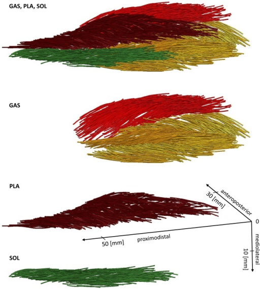 Muscle architectures of GAS, PLA, and SOL of R1 left pelvic limb.Muscle fascicles of GAS medialis and lateralis are shown in light red and yellow, respectively. The proximodistal axis corresponds to the mean force axis of the calf muscles, running from mean muscle origin at the humerus to the insertion at the calcaneus. The corresponding 3D data of the muscle fascicles are provided in the Supporting Information (S2–S4 Datasets).