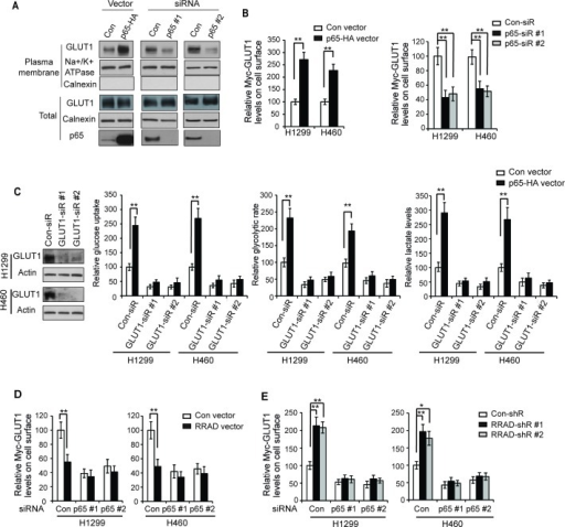 RRAD inhibits GLUT1 translocation to the plasma membrane through down-regulating NF-κB signaling(A) The NF-κB signaling promoted the translocation of endogenous GLUT1 to the plasma membrane in H1299 cells detected by Western-blot assays. Cells were transfected with pCMV-p65-HA expression vectors (left panel) or p65 siRNA oligos to knock down p65 (right panel), and the endogenous GLUT1 levels in the isolated plasma membrane fraction and whole cell lysates were analyzed by Western-blot assays. (B) Ectopic expression of p65 promoted the translocation of Myc-GLUT1 to the plasma membrane (left panel), whereas p65 knockdown inhibited the translocation of Myc-GLUT1 to the plasma membrane (right panel) in H1299 and H460 cells. Cells were transfected with p65 expression vectors or p65-siR together with Myc-GLUT1 vectors. The levels of Myc-GLUT1 on cell surface were analyzed in a flow cytometer and normalized with the total Myc-GLUT1 levels in cells. (C) GLUT1 knockdown greatly abolished the promoting effects of p65 on glucose uptake, the glycolytic rate and lactate production in H1299 and H460 cells. Cells were pre-transfected with 2 different GLUT1 siRNAs (GLUT1-siR) before transfection with p65 expression vectors. Left panel: Western-blot analysis of knockdown of GLUT1 by siRNA in cells. (D) p65 knockdown largely abolished the inhibitory effects of RRAD overexpression on Myc-GLUT1 translocation to cell surface in cells measured by flow cytometry. H1299 and H460 cells with stable RRAD overexpression (RRAD) and control cells (Con) were pre-transfected with p65-siR before transfection of Myc-GLUT1 vectors. (E) p65 knockdown largely abolished the promoting effects of RRAD knockdown on Myc-GLUT1 translocation to cell surface. H1299 and H460 cells stably transduced with 2 different RRAD shRNA vectors (RRAD-shR) and control shRNA (Con-shR) were pre-transfected with p65-siR before transfection of Myc-GLUT1 vectors. Data are presented as mean value ± SD (n=3). *p < 0.05; **p < 0.01 (student's t test).