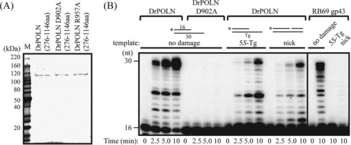 "DNA polymerase activity of zebrafish POLN (DrPOLN).A, constructs containing residues 276–1146 of DrPOLN were bacterially expressed and purified. Substituted residues in DrPOLN derivatives (Asp-902 and Arg-957) are shown in Fig. 1. Three hundred ng of purified DrPOLN derivatives and molecular mass markers were separated by electrophoresis in a 4–15% SDS-polyacrylamide gradient gel and stained with colloidal Coomassie Brilliant Blue G-250. B, DNA polymerase activities of DrPOLN. 23 nm DrPOLN and DrPOLN (D902A) and 10 pm RB69 gp43 were incubated with the 5′-32P-labeled primer-templates indicated under ""Experimental Procedures"" in the presence of all four dNTPs at 37 °C for the indicated time. The activities were analyzed on the same gel."