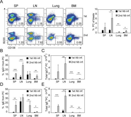 IgE+ and IgG1+ PCs increase in numbers in different organs after secondary N. brasiliensis infection.Spleen (SP), pooled mediastinal, and mesenteric LN, lung, and bone marrow (BM) of BALB/c mice were collected 13 d or 10 d after primary and secondary N. brasiliensis infection, respectively. (A) Representative plots show the percentage of PCs (B220–CD138+) from blasts (FSChiSSChi) after primary (upper plots) and secondary (lower plots) N. brasiliensis infection gated as indicated in S10 Fig. Bar graph shows the average percentage of PCs in indicated tissues. (B–E) Bar graphs show the mean percentage of IgG1+ PCs (B), total IgG1+ PCs (C), percentage of IgE+ PC (D) and total IgE+ PC (E) in indicated tissues using the PC gate shown in Fig 5A and intracellular staining for IgG1 and IgE as shown in S11 Fig. Data show the mean + SEM from three independent experiments and at least six mice. *p < 0.05, **p < 0.005, ***p < 0.001 by Student's t test.
