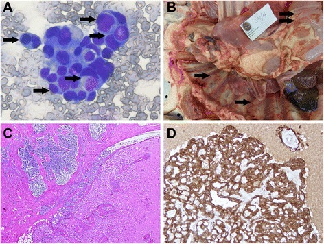 Case 4. Mesothelioma. Pleural cavity. Dog. a - Pleural effusion cytology smear showing frequent images of cellular internalization (arrows) (Giemsa). b – Large mediastinal mass can be seen together with various small nodules dispersed throughout the parietal pleura (arrows). c – Part of the tumor (upper left) was organized in variably sized lobules limited by trabeculae of fibrous tissue, formed by loosely arranged cells almost devoid of cytoplasm, with round nuclei. Extensive necrosis is visible, possibly due to chemotherapy. In other areas (lower right) the tissue is organized in single layers of epithelial cells covering papillary infoldings into cystic spaces filled with acidophilic content. d - IHC, anti-pancytokeratin antibody. Only the cells of the epithelial component are positive. Mayer's hematoxylin counterstain