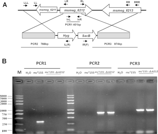 Construction of the mc2155:Δ6212 M. smegmatis strain.(A) The upper panel shows the genetic organization of the msmeg_6212 gene locus. Gene location and orientation are indicated by large arrows. Primer location and orientation are shown by small arrows. (B) The lower panel shows the PCR for verification of the mc2155:Δ6212 M. smegmatis strain.