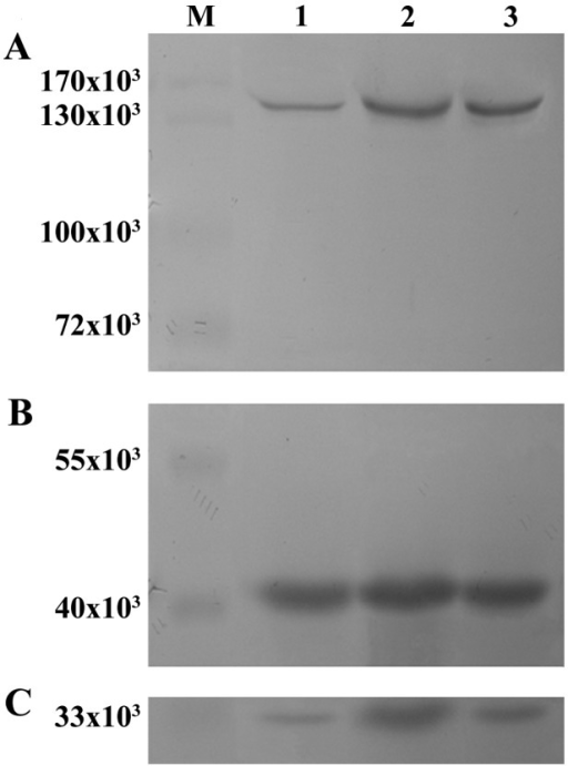 Expression of xanthine oxidase (XO) and caspase-3 in non-infarcted zones (NIZ) detected by western blot analysis. M, protein marker; lane 1, sham group; lane 2, myocardial infarction group (MI); lane 3, Qili qiangxin group. (A) XO; (B) β-actin and (C) caspase-3.