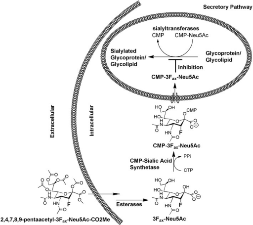 Mechanism of action of the CMP-3Fax-Neu5Ac inhibitor (see text for details).
