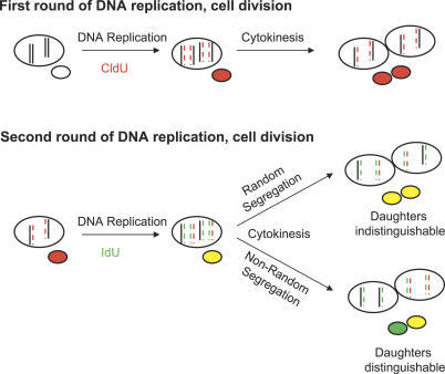 Models of Template Strand Segregation during Cell Divis | Open-i