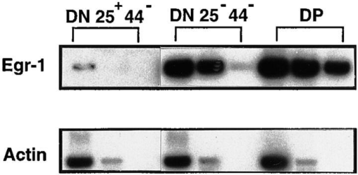Increased endogenous Egr-1 expression in  CD25−CD44− DN thymocytes  of wild-type (C57Bl/6) mice.  CD25+CD44− DN, CD25−  CD44− DN, and DP thymocytes  were sorted from C57Bl/6 (B6)  mice, total RNA was isolated,  and the expression of Egr-1 gene was assessed by semiquantitative RT-PCR. The amount of template cDNA for PCR corresponds to 5 × 104,  5 × 103, or 103 cells from the left lane to the right in each type of cell.