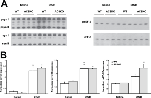 Ethanol-induced phosphorylation of synapsin I and II and eEF-2 is not compromised in AC8KO hippocampus.(A) Immunoblot analysis of whole cell lysates from WT and AC8KO mice demonstrates increased expression of phosphorylated synapsin I and II (psyn I, II) and eEF-2 (peEF-2) in WT and AC8KO hippocampus following ethanol treatment compared to saline controls. (B) Quantification of phospho-synapsin I, II and phospho-eEF-2 expression normalized to total synapsin I, II (syn I, II) or eEF-2 expression, respectively. Ethanol significantly induced phosphorylation of synapsin I, II and eEF-2 in WT and AC8KO mice. (**, p<0.05 vs. respective saline control).