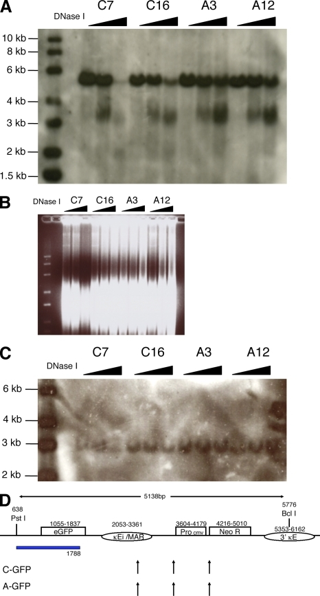 DNase I hypersensitive sites of GFP transgenes. (A) Southern blot of two C-GFP and two A-GFP subclones. DNA from DNase I–digested cells was digested with Pst I and Bcl I and hybridized with a GFP probe. 0, 10, and 50 U DNase I are indicated by the filled horizontal arrows. (B) Ethidium bromide–stained gel of DNA fragments before hybridization for A. (C) An ovalbumin probe was used to reprobe the blot in A. (D) Vertical arrows indicate DNase I hypersensitive sites observed with GFP for C-GFP and A-GFP clones. The horizontal blue box indicates the probe. The experiment was repeated with DNase I digestion of different C-GFP and A-GFP cell clones showing no difference in DNase hypersensitivity.
