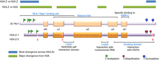 A simplified view of H2A.Z structure and post-translational modifications. Bars indicate the major regions of divergence between H2A.Z proteins across species (green) and between H2A.Z and H2A (blue). The relative location of the nuclear localization signal (NLS) and regions of S. cerevisiae (Sc) H2A.Z (called Htz1) that mediate contact with the Nap1 chaperone and the SWR-complex (SWR-C) ATPase complex are also shown. All H2A.Z post-translational modifications identified so far are on the relatively divergent amino and carboxyl termini, so it is unclear whether each specific modification is invariably used to regulate variant function across species. Addition of post-translational modifications generally depends on the SWR complex, indicating that each modification occurs after the variant is assembled into chromatin [3,5]. A major region of difference between H2A and H2A.Z is in the Loop 1 domain, which regulates interaction between the two H2A molecules in a nucleosome. This has led to the suggestion that nucleosome core particles can only be homotypic, containing either H2A or H2A.Z. However, hybrid nucleosomes containing H2A:H2B and H2A.Z:H2B dimers have been observed [6]. The sequence of human H2A.Z-1, including the three residues that differ in H2A.Z-2, is also indicated.
