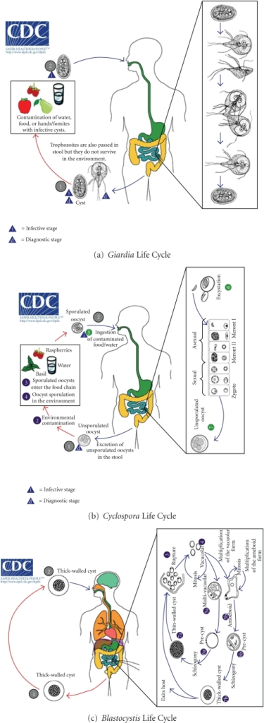 Schematic life cycle of the most recurrent Cryptosporidium coinfective and coemerging parasitic agents. Panel (a).  Giardia intestinalis (also called Giardia lamblia or Giardia duodenalis) is a flagellate parasite (Diplomonadida). Both cysts and trophozoites can be found in nondiarrheal feces (diagnostic and infective stages, (1)). Cysts are resistant forms and are responsible for transmission of giardiasis (infective stage, (2)). Infection occurs by the ingestion of water or food contaminated by cysts, or by the fecal-oral route (hands or fomites). In the small intestine, excystation releases trophozoites which multiply by longitudinal binary fission, remaining in the lumen of the proximal small bowel where they can be free or attached to the mucosa. Encystation occurs as the parasites transit toward the colon. Panel (b). Cyclospora cayetanensis is a coccidian parasite (Apicomplexa). When passed in stools, the oocyst is not infective (on the contrary of Cryptosporidium, thus direct fecal-oral transmission cannot occur). In the environment, sporulation occurs after days or weeks, resulting in division of the sporont into two sporocysts, each containing two sporozoites (diagnostic and infective stages, (1)). Fresh food and water can serve as vehicles for transmission and the sporulated oocysts are ingested (infective stage, (2)). The oocysts excyst in the gastrointestinal tract, freeing the sporozoites which invade the epithelial cells of the small intestine. Inside the cells they undergo asexual multiplication and sexual development to mature into oocysts, which will be shed in stools. Panel (c). Blastocystis hominis is a Heterokontid Chromista (Stramenopiles). The thick-walled cyst present in the stools (diagnostic stage, (1)), which varies tremendously in size from 6 to 40 μm, is believed to be responsible for external transmission, possibly by the fecal-oral route through ingestion of contaminated water or food (infective stage, (2)). The cysts infect epithelial cells of the digestive tract and multiply asexually. Vacuolar forms of the parasite give origin to multi vacuolar and ameboid forms. The multivacuolar form develops into a precyst that gives origin to a thin-walled cyst, thought to be responsible for autoinfection. The ameboid form gives origin to a precyst, which develops into thick-walled cyst by schizogony. The thick-walled cyst is excreted in feces. Panel (d). Entamoeba histolytica/dispar is an Amoebozoa parasite. Cysts and trophozoites are passed in feces (diagnostic and infective stages, (1)), the first found in formed, whereas the latest in diarrheal stool. Infection by E. histolytica occurs by ingestion of mature cysts in fecally contaminated food, water, or hands. Excystation occurs in the small intestine and trophozoites are released, which migrate to the large intestine and multiply by binary fission to produce cysts, where both stages are passed in the feces. Cysts can survive days to weeks in the external environment and are responsible for transmission (diagnostic and infective stages, (2)). Trophozoites passed in the stool are rapidly destroyed once outside the body, and if ingested would not survive exposure to the gastric environment. In many cases, the trophozoites remain confined to the intestinal lumen (noninvasive infection) of individuals who are asymptomatic carriers, passing cysts in their stool. In some patients the trophozoites invade the intestinal mucosa (intestinal disease), or, through the bloodstream, extraintestinal sites such as the liver, brain, and lungs (extraintestinal disease), with resultant pathologic manifestations. It has been established that the invasive and noninvasive forms represent two separate species, respectively, E. histolytica and E. dispar. These two species are morphologically indistinguishable unless E. histolytica is observed with ingested red blood cells (erythrophagocytosis). Infective and diagnostic stages, as well as body organs, are graphically reported, when surely assessed in the life cycle of the parasites. Modified from pictures available at the CDC site for parasite identification and diagnosis (http://www.dpd.cdc.gov/dpdx/HTML/Para_Health.htm). Putignani and Menchella, 2010.