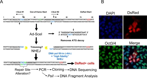 Description of the NHEJ-red repair cassette and processing of I-SceI-digested DNA.(A) Schematic of the NHEJ-red cassette. (B) Oct3/4 (green) positive hESCs display DsRed (red) 48 h after infection with a multiplicity of infection (MOI) of 30 with Ad-SceI adenovirus. DAPI shows nuclear staining.