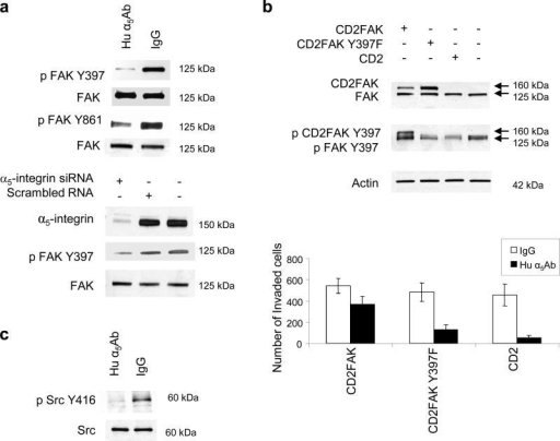 Adhesion of ovarian cancer cells to fibronectin activat | Open-i