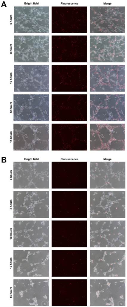Localisation of EPCs following in vitro transplantation. Transplantation into EC tubules performed using 50% (4 × 104) or 10% (8 × 103) Qdot-labelled EPCs at 5 h. EPC localisation in (A) 50% and (B) 10% transplantation assays, showing bright field, fluorescence and merged images from 6-14 h at 2 h intervals. Scale bars = 500 μm.