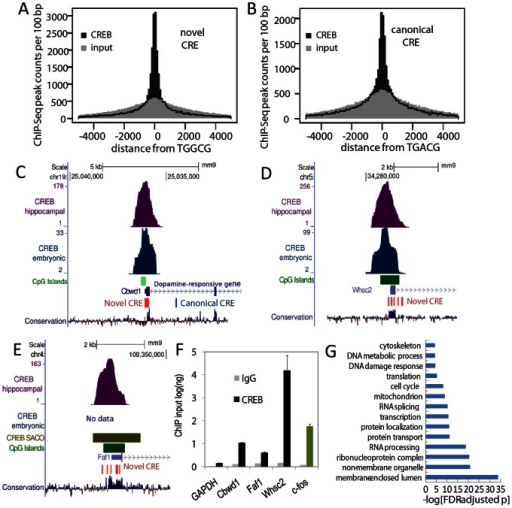 The non-canonical CRE is associated with CREB occupancy and CREB-responsiveness of endogenous genes.(A and B) Histograms depict spatial accumulation of mouse hippocampal CREB ChIP-Seq peaks relative to all genomic occurrences of the canonical CRE (TGACG) and the non-canonical CRE (TGGCG). Randomized peaks over the same genomic extent are depicted in grey. (C-E) UCSC genome browser tracks show hippocampal CREB ChIP-Seq (CREB hip), embryonic cortical neuron CREB ChIP-Seq (CREB embryonic) data relative to RefSeq genes, non-canonical CRE motifs (red), and CpG islands (green). Rat CREB SACO data mapped to the mouse genome is also depicted with purple bars denoting SACO cluster extent (CREB SACO). The depicted loci did not contain the canonical CRE motif. (F) Chromatin from rat and mouse hippocampal neurons was immunoprecipitated with the indicated antibodies. Real-time PCR with primers directed against the ChIP-Seq peak (mouse) or the orthologous rat locus (rat) were used to assess CREB occupancy (n = 3; SEM). Significance was assessed using the Storey-adjusted Fisher exact test (FDR-adjusted p). (G) All RefSeq genes whose annotated transcriptional start is within 1 kb of a hippocampal neuron ChiP-Seq peak were selected for gene ontology analyses. Significance was assessed using the Storey-adjusted Fisher exact test (FDR-adjusted p).