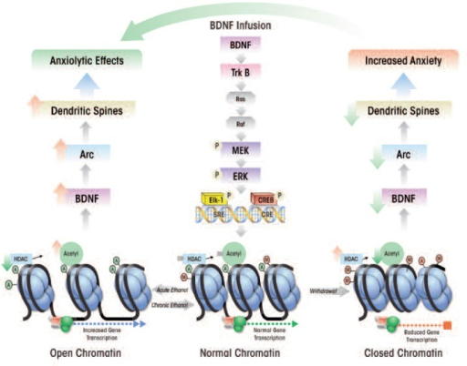 A hypothetical model for the role of brain-derived neurotrophic factor (BDNF) signaling and chromatin remodeling in central amygdaloid brain regions in the regulation of anxiety induced by acute ethanol and ethanol withdrawal. BDNF binding to tyrosine receptor kinase B (TrkB) triggers several signaling cascades that culminate in the activation of transcription factors, Elk-1 and cAMP-responsive element binding protein (CREB). Under normal conditions, histone deacetylase (HDAC) levels and histone acetylation are adequate to allow for normally regulated chromatin structure and gene transcription. Acute ethanol exposure inhibits HDAC, resulting in increased histone acetylation and an open chromatin conformation. This may lead to increased transcription of BDNF as well as higher levels of a protein, activity-regulated cytoskeleton associated protein (Arc), thereby increasing dendritic spine density. The modulation of these synaptic factors results in anxiety-reducing (i.e., anxiolytic) behavioral effects. In contrast during withdrawal from chronic ethanol exposure HDAC activity increases, resulting in a reduction of histone acetylation that in turn closes the chromatin conformation and reduces gene transcription. The resulting low BDNF levels decrease Arc and dendritic spine density, all of which are associated with anxiety-like behaviors. This model is further supported by the fact that exogenous infusion of BDNF into the CeA reduces anxiety-like behaviors in ethanol withdrawn rats and is associated with increased BDNF and Arc levels (Moonat et al. 2010; Pandey et al. 2008a, 2008b).