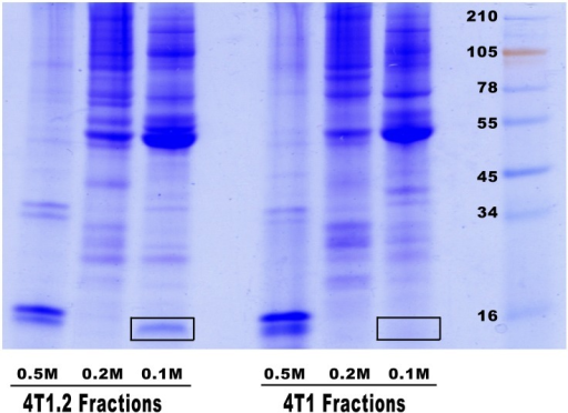 Proteins secreted by 4T1 and 4T1.2 cells.Cell conditioned media generated under serum-free conditions was fractionated on DEAE column and proteins were eluted step-wise by solutions containing 0.1 M, 0.2 M and 0.5 M of sodium chloride. After precipitation aliquots of fractions were separated on SDS gel and stained with Coomassie Brilliant blue for visual comparison of protein bands. Selected differences observed between the two cell lines are highlighted.