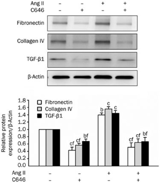Effect of C646 on Ang II-induced pro-fibrotic responses in NRK-52E cells. Cells were treated with Ang II (1 μmol/L) for 48 h with or without a 1-h pretreatment with C646 (10 μmol/L). Fibronectin, collagen IV and TGF-β1 were analyzed by Western blot analysis. Media containing Ang II or C646 were changed every 24 h. Data are presented as the mean±SEM of 6 experiments. bP<0.05, cP<0.01 compared with control [Ang II (−) and C646 (−)]. fP<0.01 compared with Ang II only.