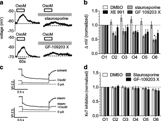 Effects of PKC inhibitors on depolarisation and Kv7 channel inhibition by oxotremorine M. Membrane potential and currents through Kv7 channels in SCG neurons were recorded in current-clamp and voltage-clamp mode, respectively, using the amphotericin B-perforated patch technique. Oxotremorine M (OxoM, 10 μM) was present for six periods of 60 s each; these periods of oxotremorine M application were separated by 3-min intervals. From minute 2 after the first oxotremorine M application onward, PKC inhibitors, XE 991, or solvent (0.1 % DMSO) was present throughout the remaining measurements. a Time course of membrane voltage in two different SCG neurons during the first and the sixth exposure to oxotremorine M (OxoM, 10 μM); the agonist was present, as indicated by the bars. After the first oxotremorine M exposure, either 1 μM staurosporine or 1 μM GF 109203 X was present. b Changes in membrane voltage (Δ mV) caused by these six oxotremorine M applications (O1–O6) in the presence of DMSO, staurosporine, GF 109203 X or XE 991 (3 μM); the values of these six depolarisations were normalized to the value of the first one (n = 6). *Significant difference between the four values at O6 (p < 0.05, Kruskal–Wallis test). c Current responses of one neuron that was clamped at a voltage of −30 mV and hyperpolarised to −55 mV once every 15 s and that has been exposed to 1 μM staurosporine. The traces were obtained before (solvent) and during (OxoM) the first application (O1) of 10 μM oxotremorine M as well as before (stauro) and during (stauro+OxoM) the sixth application (O6) of oxotremorine M. d Changes in Kv7 inhibition (quantified by deactivation current amplitudes) caused by these six oxotremorine M applications (O1–O6) in the presence of either DMSO, staurosporine or GF 109203 X; these six values of Kv7 inhibition were normalized to the value of the first one (n = 6–9)