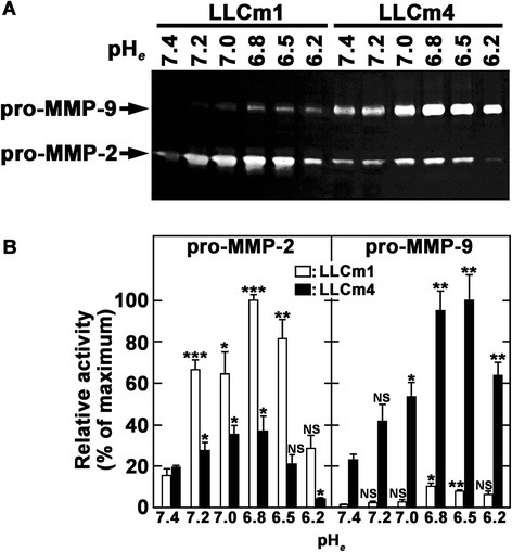Acidic pHeinduces MMP-9 production. Sub-confluent cells were cultured overnight in serum-free medium at pH 7.4 and stimulated with serum-free medium at the indicated pH. After 24 h, the conditioned medium was collected, concentrated, and analyzed by gelatin zymography. A. A clear zone indicates gelatinolytic activity. B. Intensity of zymogram was quantified by Scion Image (Scion corp., Frederick, MD, USA). Representative results were shown from three independent experiments. *P < 0.01; **P < 0.01; ***P < 0.001; NS, not significant.