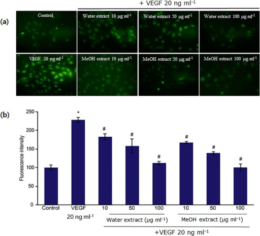 Inhibitory effects of water and methanol extracts of N. nucifera leaves on VEGF-induced ROS generation in HUVECs.(a) Serum-starved cells were pretreated with extracts for 30 min and then treated with VEGF (20 ng ml−1) for 15 min. ROS generation was determined by measuring DCF-DA fluorescence. The fluorescence intensity was determined by analyzing the captured images with the Image Inside program. (b) Data are mean ± SD values from four independent experiments. *: p<0.05 compared with untreated control; #: p<0.05 compared with VEGF-treated CAM samples. All tested concentrations (10, 50, and 100 μg ml−1) of the water as well as the methanol extract display statistically significant difference with respect to each other.