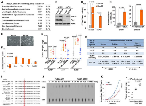 Rab2A Is Amplified in Human Cancers, Its Overexpression Expands BCSCs and Tumorigenicity, and the Cancer-Derived Rab2A Q58H Mutant Has Reduced GTPase Activity(A) Rab2A gene amplification in a wide range of human cancers reported in cBioPortal.(B) Stable overexpression of Rab2A in Pin1 KD or control HMLE cells using retrovirus-mediated gene transfer, as determined by immunoblot.(C) Overexpression of Rab2A in HMLE cells potently induced the CD24−CD44+ population and rescued the phenotypes inhibited by Pin1 KD.(D) Overexpression of Rab2A increased the mammosphere formation in control shRNA (shCtrl) HMLE cells and rescued the phenotypes inhibited by Pin1 KD.(E and F) Overexpression of Rab2A potently induced the EMT in HMLE cells, as assayed by cell morphology (E) and real-time RT-PCR of the marker expressions (F).(G and H) Rab2A overexpression increased tumorigenicity of BCSCs, while its KD impaired the ability of Pin1 overexpression to increase tumorigenicity of BCSCs, as measured by a limiting-dilution tumor-initiation assay in nude mice. Two months later, mice were sacrificed and evaluated for tumor weight (G) and tumor incidence (H).(I) Q58 in Rab2A is evolutionally conserved across species.(J and K) The Q58H mutant displayed decreased GTP hydrolysis activity, compared to the WT Rab2A protein in the in vitro GTPase assay, as monitored by α-32P-labeled GTP hydrolysis (J), and quantified by densitometry of three independent experiments (K).(L) HMLE-Ras cells infected with Rab2A Q58H were more potent in forming tumors than those infected with WT Rab2A when overexpressed at the endogenous levels.In all panels, error bars represent SD of three independent experiments. See also Figure S3.