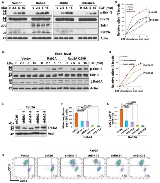Rab2A and Its Q58H Mutant Drive BCSC Expansion via Activating Erk1/2(A and B) Rab2A regulated Erk1/2 phosphorylation and downstream Zeb1 expression. HMLE cells stably expressing Rab2A or shRNA or control vectors were treated with EGF after serum starvation for the indicated time points to activate Erk1/2 and analyzed by immunoblot.(C and D) Rab2A Q58H mutant activated Erk1/2 faster than WT Rab2A when overexpressed at the endogenous levels after EGF treatment. Arrowhead, exogenous Flag-Rab2A; arrow, endogenous Rab2A. immunoprecipitated by Rab2A in a dose-dependent manner (Figure 4G), suggesting that Rab2A competed with MKP3 to bind Erk1/2 in vivo. However, unlike the MKP3 competition results, similar amounts of Erk1/2 were immunoprecipitated by Flag-Rab2A even though decreasing amounts of MEK1 were expressed (Figure S5B). These results may be expected, because although the docking motif of MEK is important for the ERK-MEK interaction, there are other mechanisms to ensure the activation of Erk by MEK1, such as scaffold protein facilitation and the MEK catalytic site interacting with the Erk activation loop (Roskoski, 2012).(E) Erk1 or Erk2 was knocked down by two independent lentivirus-mediated shRNAs in Rab2A-overexpressing cells.(F) KD of Erk1/2, especially Erk2, prevented Rab2A from increasing the mammosphere-forming capability.(G and H) KD of Erk1/2, especially Erk2, prevented Rab2A from increasing the CD24−CD44+ population. In all panels, error bars represent SD of three independent experiments.