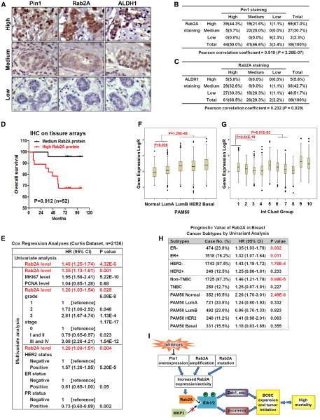 Rab2A Expression Correlates with Pin1 and ALDH1 Expression and with Poor Clinical Outcome in Breast Cancer Patients(A–C) Rab2A expression correlated with Pin1 and ALDH1 expression in the tissue array of normal and cancerous breast tissue.(D) High Rab2A expression correlated with poor overall survival in the tissue array dataset of breast cancer patients.(E) Rab2A was a strong and independent biomarker to predict breast cancer specific survival in the Curtis breast cancer dataset by Cox regression analyses.(F) Boxplots of Rab2A expression stratified by the PAM50 classifier in the Curtis breast cancer dataset.(G) Boxplots of Rab2A expression stratified by the IntClust subtypes in the Curtis breast cancer dataset.(H) Univariate Cox regression analysis showed that HER2-negative, non-triple-negative, or PAM50-normal subtypes of breast cancer patients with higher Rab2A mRNA levels had a higher risk of breast cancer mortality.(I) A schematic model for how the Pin1/Rab2A/Erk signal pathway regulates tumor initiation via CSC regulators, contributing to high mortality in breast cancer. See also Figure S7.