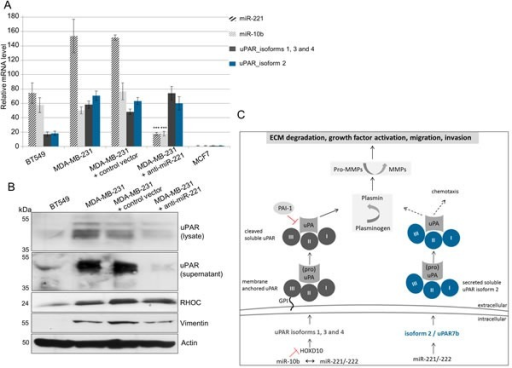 miR-221 directly regulates uPAR isoform 2 (uPAR7b) and indirectly uPAR isoforms 1, 3, 4 and miR-10b(A) qRT-PCR for expression analysis of miR-221 and miR-10b as well as of uPAR isoforms 1, 3, 4 and isoform 2 (uPAR7b). Data represent the means and ± SD (n = 3). The Student's t-test was used for statistical analysis: * p < 0.05, ** p < 0.01, *** p < 0.001. (B) Representative Western blot analyses of protein expression of uPAR (in the lysate and supernatant) as well as of vimentin, RHOC and actin in the cell lysates are shown. (C) Schematic illustration showing possible molecular mechanisms regulating expression of membrane anchored uPAR isoforms 1, 3 and 4 or the secreted uPAR isoform 2.