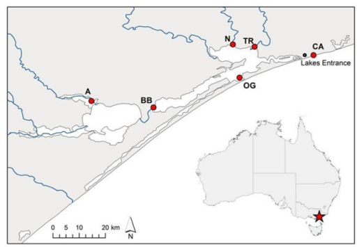 Source sites of Phragmites australis clones from the Gippsland Lakes, south-eastern Australia used in this study. Population codes are as listed in Table 1. The artificial opening of the lake system to Bass Strait is immediately south-west of the Lakes Entrance township while blue lines indicate inflowing rivers.