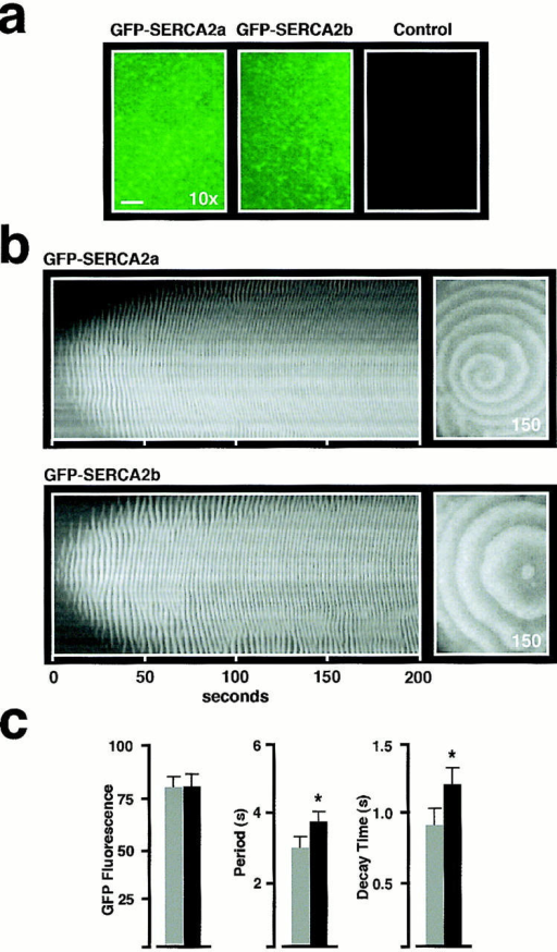 GFP-SERCA2 isoforms retain the characteristics of  their respective unmodified proteins and at equivalent levels of  expression exhibit different Ca2+ wave characteristics. (a) Fluorescence images in GFP-SERCA2a (left) and GFP-SERCA2b  (middle) overexpressing oocytes that have been matched for  equivalent levels of GFP fluorescence intensity. GFP fluorescence (745 μm × 530 μm) was excited at 488 nm. Note that under  these imaging conditions, fluorescence levels in control oocytes  (injected with H2O instead of GFP-SERCA2 mRNA) are not detectable. For quantitation of overexpression levels of GFP fusion  proteins, fluorescence values were measured from images obtained at a low magnification (10× objective; bar, ∼100 μm). (b)  Spatio-temporal patterns (left) of Ca2+ release induced by injection of IP3 (∼300 nM final) in oocytes as labeled. In this experiment, Ca2+ Orange (Molecular Probes, Inc.) was used as indicator of Ca2+ wave activity so that GFP fluorescence and Ca2+  wave activity could be observed in the same oocyte. GFP(S65T)  absorption and emission maxima in the visible spectrum occur at  490 and 509 nm, respectively, while for Ca2+ Orange these are  590 nm and 650 nm, respectively. Thus, for the imaging parameters used, Ca2+ Orange fluorescence does not overlap with GFP  fluorescence emission. Each temporal stack contains 400 images  taken at 0.5-s intervals. A single image (530 μm × 745 μm) of  Ca2+ wave activity is shown at the indicated time (right). (c) At  equivalent levels of GFP fluorescence, the Ca2+ wave properties  are different for oocytes overexpressing GFP-SERCA2a (gray  bars, n = 13) and GFP-SERCA2b (black bars, n = 10). Histogram of GFP fluorescence (left) shows fluorescence intensity  measurements in arbitrary units. Histogram of Ca2+ wave period  (middle) and Ca2+ wave decay time (right) measure each of these  parameters from the time course of the average fluorescence intensity of a 5 × 5 pixel area. Note that GFP-SERCA2a-overexpressing oocytes display a higher Ca2+ wave frequency (i.e.,  shorter periods) than the GFP-SERCA2b-overexpressing oocytes. * Indicates a statistically significant difference at P < 0.005.