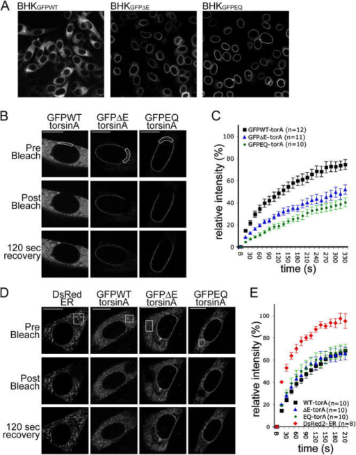 "Pathogenic and substrate trap forms of torsinA display reduced mobility in the NE. (A) GFP immunolabeling of BHKGFPWT, BHKGFPΔE, and BHKGFPEQ stable cell lines. (B and D) GFP fluorescence of BHK21 cells transiently transfected with GFPWT-, GFPΔE-, or GFPEQ-torsinA and DsRed fluorescence of control cells transfected with DsRed2-ER (CLONTECH Laboratories, Inc.). Images show representative cells immediately before (top), immediately after (middle), and 120 s after (bottom) bleaching a ROI (boxed areas) in the NE (B) or ER (D). Bars, 10 μm. (C and E) Relative fluorescence intensity in the ROI as a function of time after photobleaching at time point ""B"" (B, bleach; see Materials and methods). Points show mean values and SEM."