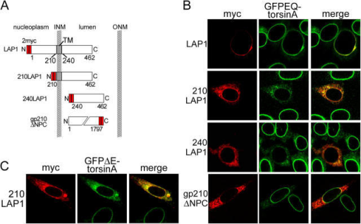 TorsinA interacts with the conserved lumenal domain of LAP1. (A) Schematic illustration of LAP1 protein structure and the deletion mutants used in this study. (B) Immunofluorescent labeling of transfected BHKGFPEQ cells with anti-GFP and anti-myc antibodies. GFPEQ-torsinA is displaced by either LAP1 lumenal fragment but not by the lumenal fragment of gp210. (C) Immunofluorescent labeling of BHKGFPΔE cells transfected with myc-tagged 210LAP1 with anti-GFP and anti-myc antibodies.