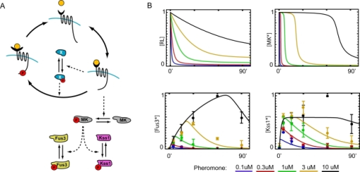 A model for dose-to-duration encoding in the pheromone response pathway.(A) Receptor affinity is feedback-regulated by species X. The signal is converted into a square pulse by the intermediate kinase MK (e.g., Ste20, Ste11, or Ste7), which also activates the MAP kinases Fus3 and Kss1. (B) Time courses of signal activity at different stages of the pathway: receptor occupancy (top left) and [MK*] (top right), and Fus3 and Kss1 activity (bottom left and right, respectively).