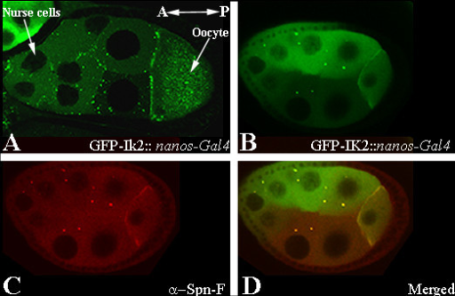 Ik2 protein is co-localized with spn-F in the nurse cells and at the anterior ring of the oocyte. (A) Live imaging of stage 9 egg chamber from nanos-Gal4; pUASP GFP-Ik2 transgenic flies. Ik2 is localized to the anterior end of the oocyte. (B-D) Confocal image of stage 8 egg chamber from nanos-Gal4; pUASP GFP-Ik2 transgenic flies stained with anti-Spn-F. (B) GFP-Ik2 in green; (C) immunostaining for Spn-F in red; (D) merged picture. Both proteins are co-localized along the anterior cortex of the oocyte and in a punctate pattern in the nurse cells. Egg chambers are positioned that the anterior (A) is to the left left and posterior end (P) is to the right.