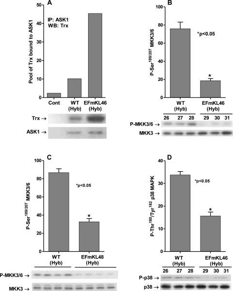 Klotho overexpression attenuates the ASK1-signalosome - p38 pathway.(A) Overexpression of Klotho mediates increased levels of the inhibitory (SH)2Trx-ASK1 complex. Western blot analysis of the levels of Trx co-immunoprecipitated with anti-ASK1 antibody in liver extracts of Klotho overexpressing (EFmKL46) and wild-type (WT Hyb) mice. (B, C) MKK3/MKK6 activity is downregulated in the Klotho overexpressing models. Western blot analysis of levels of the MKK3/6 P-Ser189/207 in livers of (B) Klotho overexpressing EFmKL46 (#29, 30, 31) and wild-type (WT Hyb; #26, 27, 28) mice and (C) Klotho overexpressing EFmKL48 (#652, 653, 654, 655); and (D) p38 MAPK activity is downregulated by Klotho overexpression. Western blot analysis of levels of p38 MAPK catalytic site amino acids (P-Thr180/Tyr182 ) in livers of WT Hyb (#26,27,28) Klotho over-expressing mice (EFmKL46 ; #29,30,31).