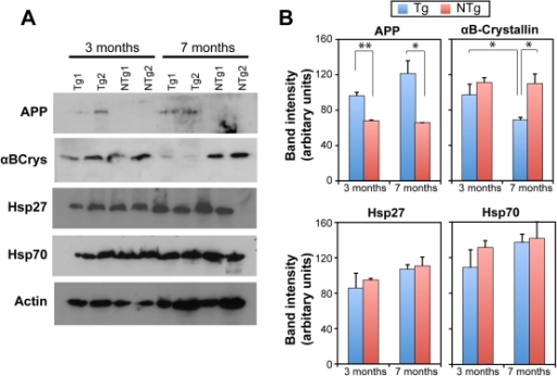 Chaperone levels in AD model mice.(A) Immunoblots showing age-dependence of αB-crystallin expression in mice expressing mutant human APP transgene. Brain lysates were prepared from two individual non-transgenic (NTg1 & NTg2) or transgenic (Tg1 & Tg2) mice each at 3 months or 7 months of age. Samples were immunoblotted for αB-crystallin, Hsp70, Hsp27, Aβ and actin. 40 µg of total protein was analyzed. Similar levels of Hsp70, Hsp27 and actin in all samples show equal protein loading. (B) Densitometric analysis of band intensities in A. Intensities were compared by two-sample Student's t-test for statistical signifcance. APP expression in Tg mice were significantly greater than NTg mice as expected (p = 0.006 at 3 months, p = 0.017 at 7 months). αB-crystallin expression was significantly lower at 7-months compared to 3-months old transgenic mice brain (p = 0.044). αB-crystallin levels in 7-month old transgenic mice was also significantly lower than non-transgenic mice at similar age (p = 0.018). All other comparisons showed no significant differences.