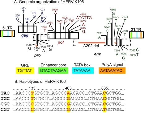 "Genome organization and haplotypes of HERV-K106.Figure 2A: Genomic characterization of HERV-K106 demonstrating the two LTRs, gag, pol, and env genes. The HERV-K106 genome was annotated with the aid of the HERV-K consensus sequence (HERV-KCON) [23], two HERV-K HML2 members that have somewhat functional gag (HERV-K101 and HERV-K109) [43], and insertionally polymorphic HERV-K113 that has intact ORF [17]. Known functional elements within the HERV-K106 LTR are shown in colored boxes. All SNP positions in the coding genes are counted from the beginning of gag ORF. Five nonsynonymous SNPs shown in gag region are HERV-K106 specific. These SNPs do not include I516M mutation which singlehandedly eliminates functionality of HERV-K113 gag [43] warranting the future investigation of functionality of K106 gag. Although K106 lacks this vital SNP it harbors one base deletion at position 1977 which causes a frameshift near the end of the gag gene. Whether this frameshift causes gag to be dysfunctional is unknown. The HERV-K106 polymerase gene (pol) that includes reverse transcriptase is distinct from the other HERV-K family members used in our sequence comparison. In addition to the SNP shown, it harbors a 5 bp deletion from 4849–4853 bp that results in a frameshift mutation. The large 292 base deletion beginning at 5392 bp of pol extending into the env gene is the signature of type-I HERV-K [16]. In addition to the 292 bp deletion, HERV-K106 env gene has a premature stop codon. (<$>\raster(70%)=""rg1""<$>) indicate stop codons in HERV-K106 genome. Figure 2B: SNPs and surrounding bases in 3′LTR of HERV-K106 demonstrating four haplotypes. Each haplotype is listed on the left, each SNP is represented in red and the position containing the SNP is highlighted in yellow."