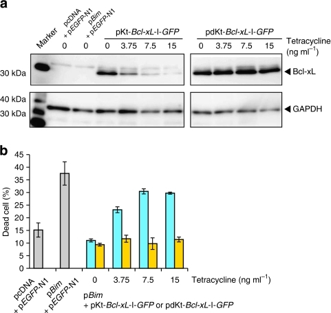 Quantitative regulation of apoptosis by L7Ae-DsRedM protein derived from DNA integrated into genome.(a) Western blotting analysis of cell lysates 24 h after transfection with pKt-Bcl-xL-I-GFP (or pdKt-Bcl-xL-I-GFP) and pBim in the absence or presence of tetracycline (0–15 ng ml−1) using anti-Bcl-xL antibody. (b) Flow cytometric analysis of the same cells. Cells positive for EGFP and Pacific Blue were considered dead. Blue column, Kt; yellow column, dKt. The results are presented as the mean±s.d. of triplicate experiments.