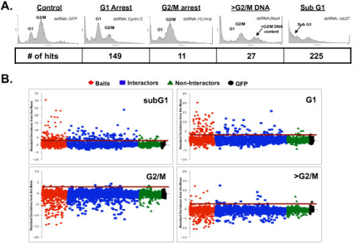Cell cycle defects induced by dsRNA. (A) Examples of cell cycle profile phenotypes. Each panel shows the cell cycle profile for Drosophila S2R+ cells that have been treated with the indicated dsRNA. The location of cell populations with G1 and G2/M DNA content is labeled. Cell populations with >G2/M or subG1 DNA content are indicated in panels where there is a significant increase in these cell populations. The number of dsRNAs that displayed an increase of greater than 3 standard deviations from the mean is shown below each phenotype (# of hits). (B) dsRNA targeting cell cycle baits and their interactors cause strong cell cycle defects more frequently than dsRNA targeting other proteins. The percentage of cells in each cell cycle phase following treatment with individual dsRNAs was determined and the number of standard deviations that this value differs from the mean was plotted. Dot plots show data for dsRNAs targeting baits (red diamonds), interactors of the baits (blue squares), non-interactors (green triangles), and GFP (black circles). The red horizontal line in each panel is drawn at 3 standard deviations from the normalized mean of control dsRNA. The genes above the line were considered as hits, or potential cell cycle regulators.