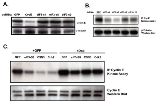 RNAi directed against members of the eIF3 protein complex does not affect Cyclin E expression but does affect Cyclin E-associated kinase activity. (A) Western blot for Cyclin E expression in whole cell extracts from S2R+ cells treated with the indicated dsRNAs. (B) Kinase activity on histone H1 of Cyclin E immunoprecipitates from S2R+ cells treated with the indicated dsRNAs. (C) Kinase activity on histone H1 of Cyclin E immunoprecipitates from S2R+ cells treated with dsRNA targeting the indicated members of the COP9 signalosome, proteasome lid or eIF3 protein complex in combination with either dsRNA targeting GFP or Dacapo.