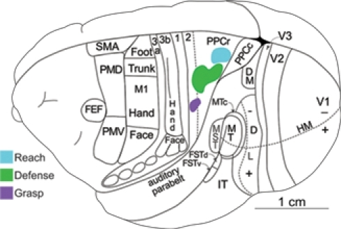 Dorsolateral view of a squirrel monkey brain. The reach, defense, and grasp zones identified with long-train electrical stimulation are arranged in PPC in a caudomedial to rostrolateral pattern. PPCr, rostral PPC and PPCc, caudal PPC. All other conventions are the same as in Figure 1.