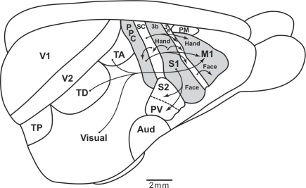Sensorimotor cortical pathways of tree shrews. The extent of posterior parietal cortex is very limited, and most visual and somatosensory information reaches motor cortex (M1) directly from somatosensory and visual areas. The caudal somatosensory area, SC, is a likely homolog of area 1–2 of galagos. TP, TD, and TA are proposed posterior, dorsal, and anterior temporal visual areas. S1 and S2, primary and secondary somatosensory areas. PV, the parietal ventral somatosensory area. Aud, auditory cortex. PM, premotor cortex. Arrows depict some of the relevant cortical connections. Based on Remple et al. (2006).