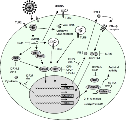 The HSV virus uses several mechanisms to evade the immune system of its host 3